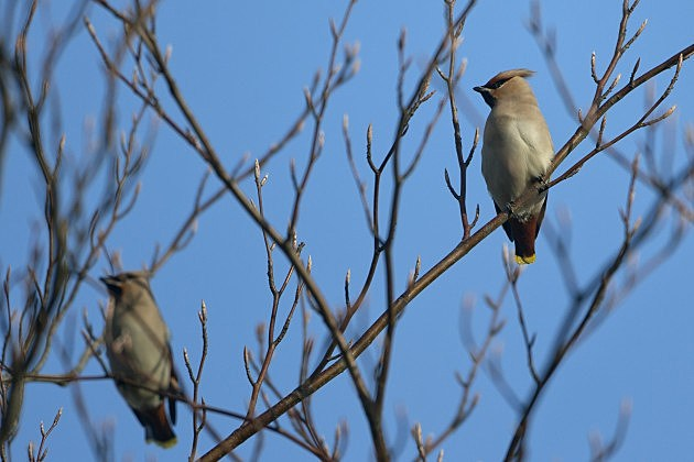 Waxwings in a Tree, Dan Kitwood, Getty Images