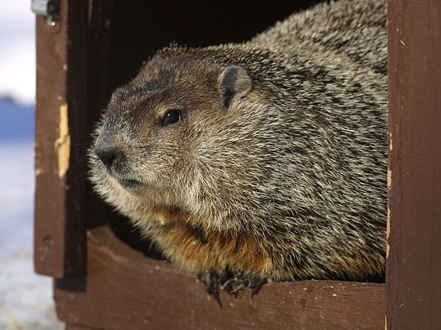 Groundhog Day In Illinois, Tim Boyle, Getty Images