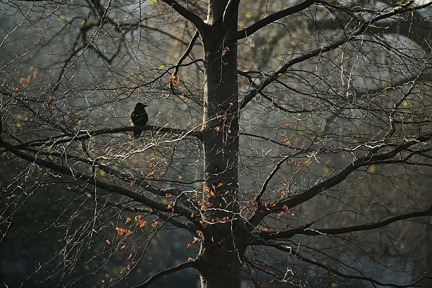 Crow in a Tree on a Cold Winter's Day