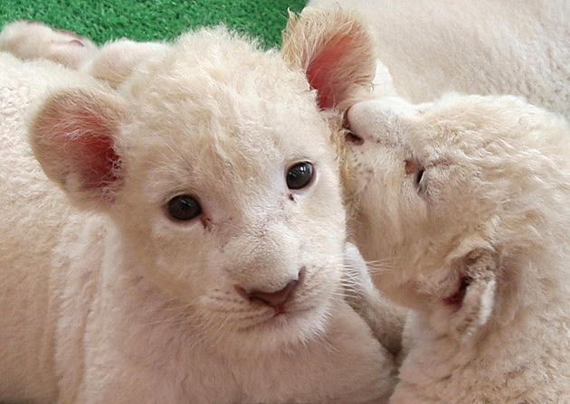 Lion Cubs in Japan 2013