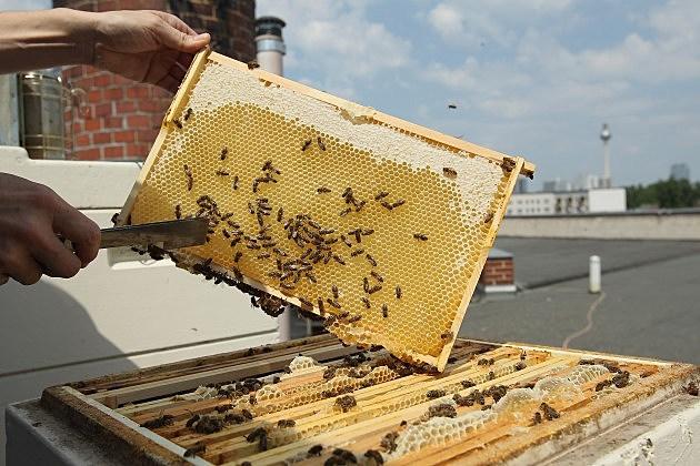 Bee Keeper Checking Honey