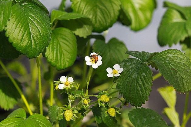 Strawberry Plant with Bee