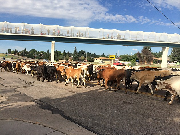 CFD Cattle Drive