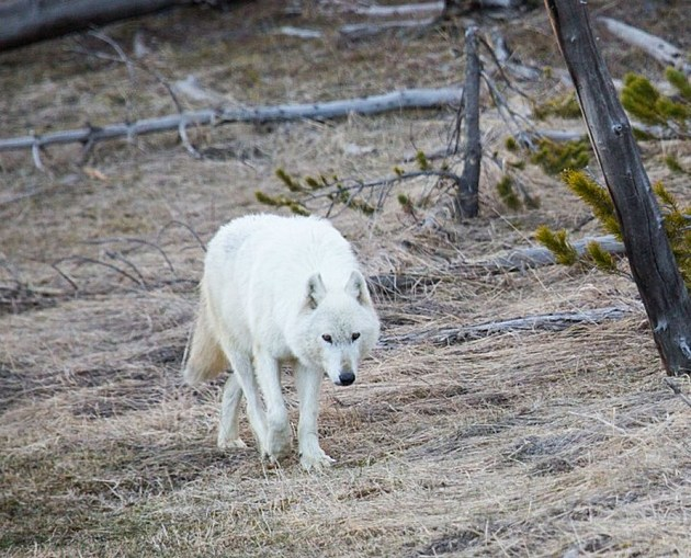 Photo Courtesy Yellowstone National Park